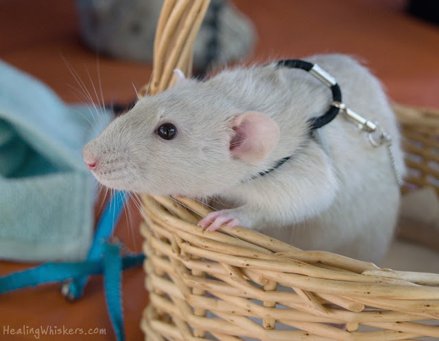 Oliver a therapy rat in training