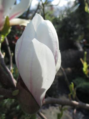 Magnolia Spring blossom Green Fingered Blog
