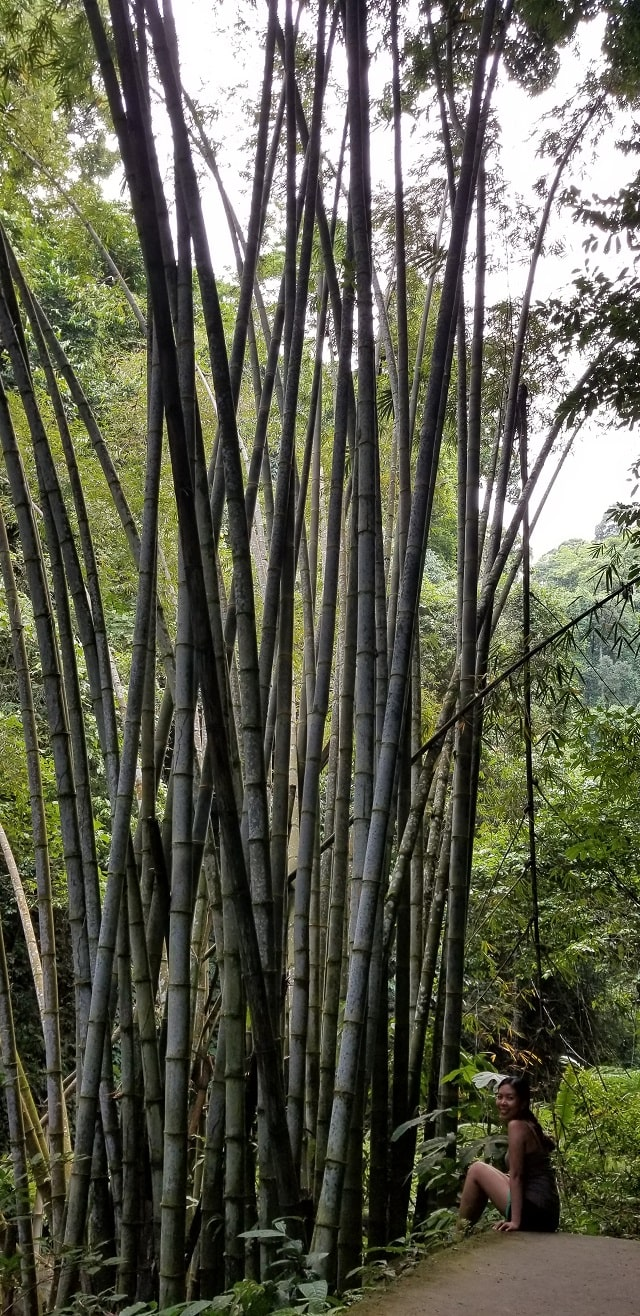 giant bamboo trees near Dumaguete falls