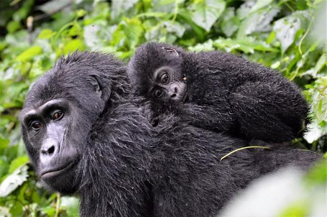 Fakta Gorila yang Menggugah Pikiran