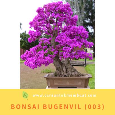 Bonsai Bugenvil (003)