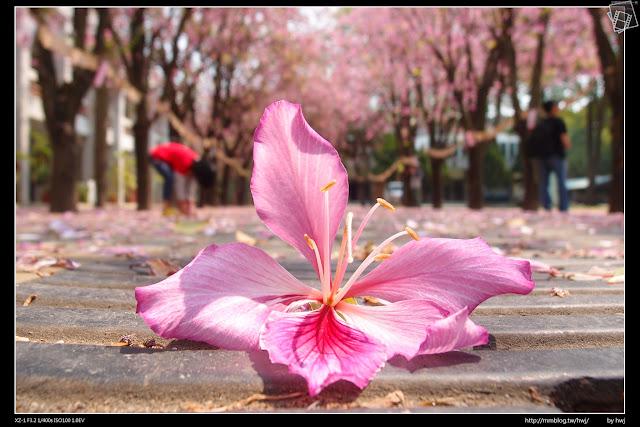 2015-03-15雲林虎尾高中-印度櫻花羊蹄甲-櫻花下的許願