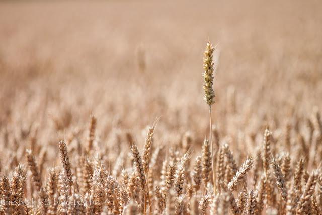 Aranyló búzamező