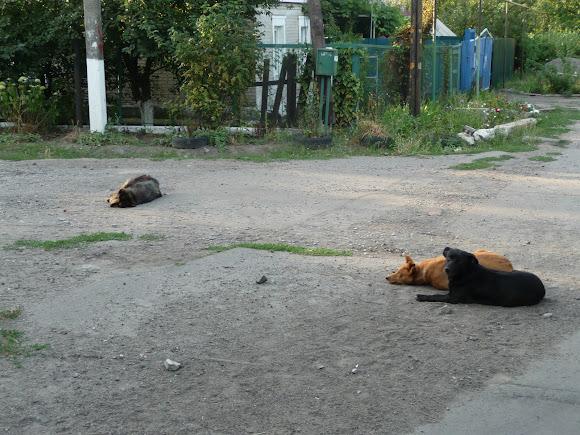 Авдіївка. Собаки біля покинутих дворів