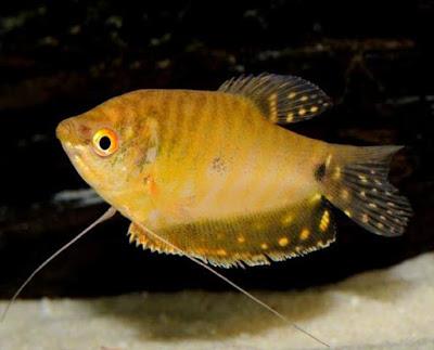 Gold Gourami ( Trichogaster trichopterus )