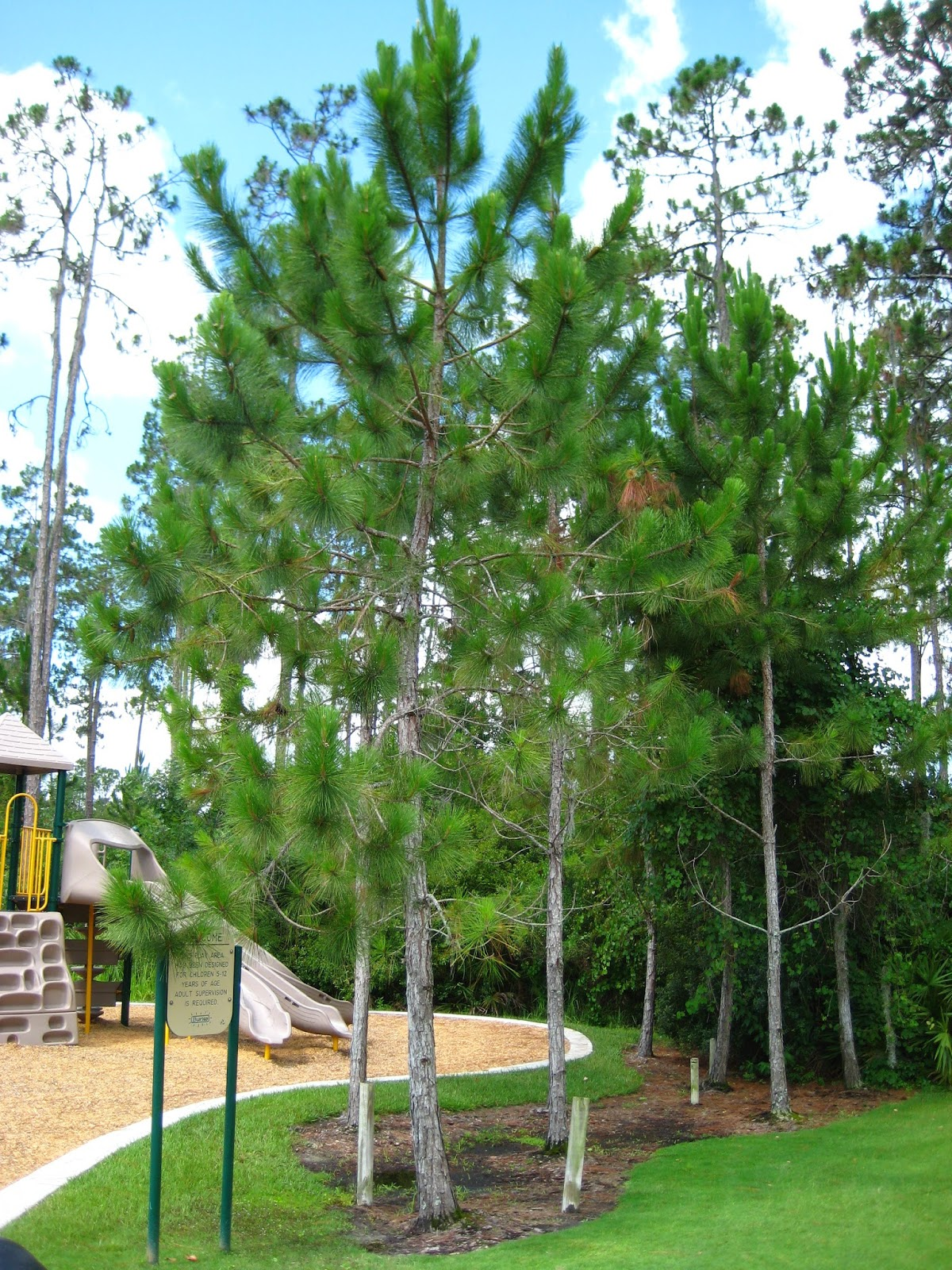 UF IFAS Extension Polk Gardening Pine Trees In Florida
