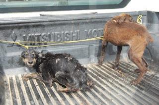 Em fiscalização de denúncia de maus tratos, Polícia Ambiental  resgatou e encaminhou ao GPA dois cãezinhos