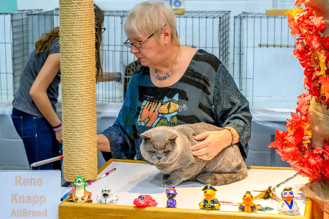 British Shorthair gets judged at It's TICA Time Cat Show
