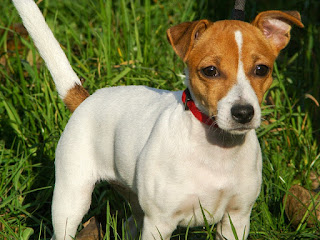 Developed in England some 200 years ago to hunt foxes, the Jack Russell Terrier