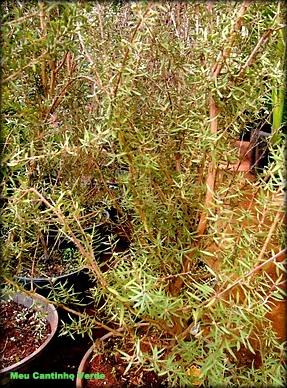 leaf Leptospermum scoparium