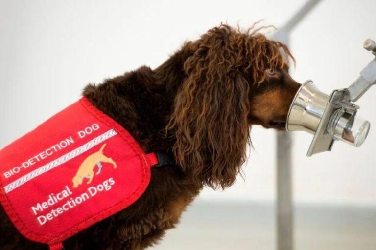 Perros son entrenados para poder olfatear el mortal virus covid-19