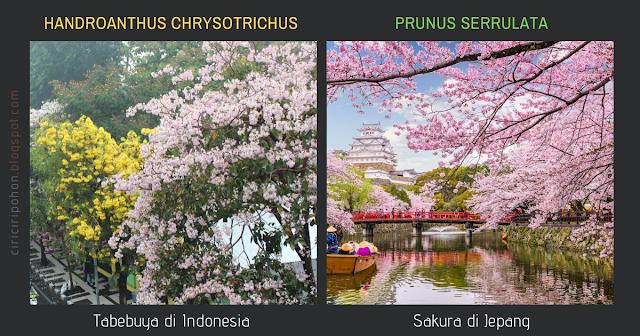 Perbedaan Tabebuya dan Sakura Jepang