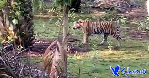 2 Harimau Masih Berkeliaran di Tempat Jumiati Dimangsa