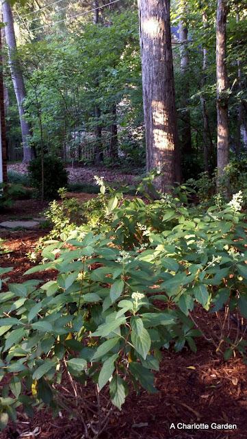 pinky winky hydrangea in woodland garden