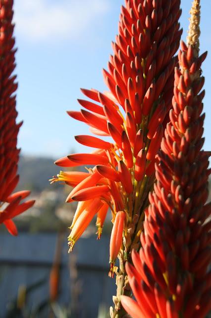 Aloe mutabilis flower close up