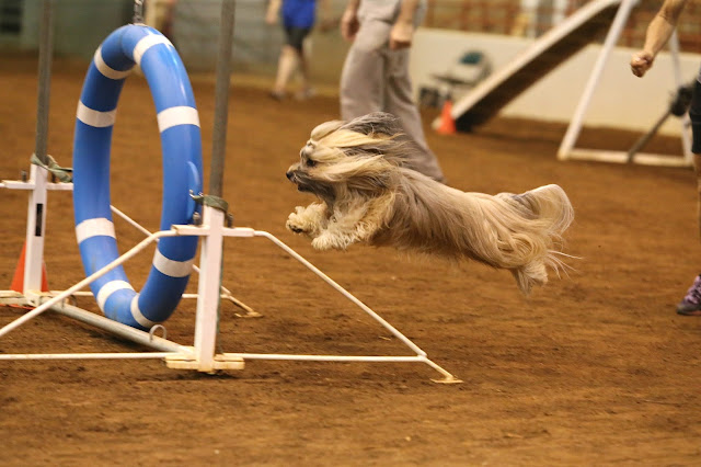 Rocco Havanese agility in Perry