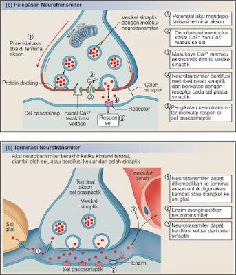 Neurotranmiter berdifusi melalui celah sinapsis, lalu menempel pada reseptor di membran pascasinapsis