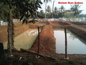 kolam tanah ikan gabus