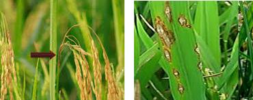 cara mengatasi penyakit patah leher pada tanaman padi, fungisida untuk patah leher padi, obat padi potong leher, solusi potong leher, mencegah padi terkena potong leher.