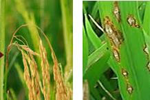 Cara tepat dan super efektif.. Mencegah padi terkena potong leher akibat jamur