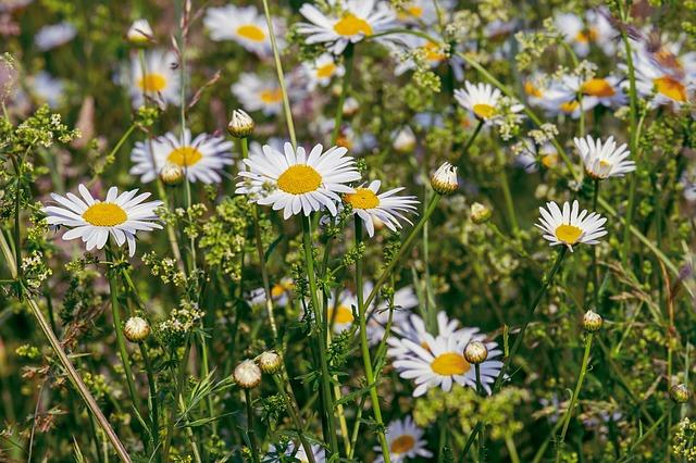 hoa cuc trang dep