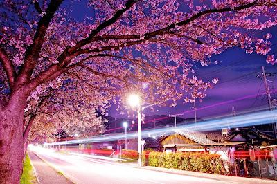 cherry_blossoms_tokyo_city-walls
