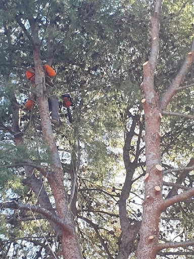 Poda de un pino de grandes dimensiones en Valencia por Ruepra Jardinería