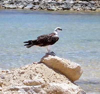 Inagua Osprey
