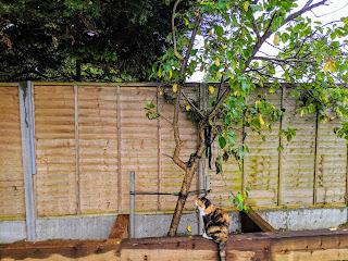 The Upright Plum Tree!