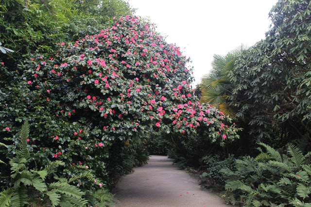 Camellia in full bloom in January