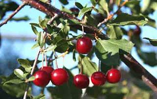 Hidden Benefits of Wild Cherry