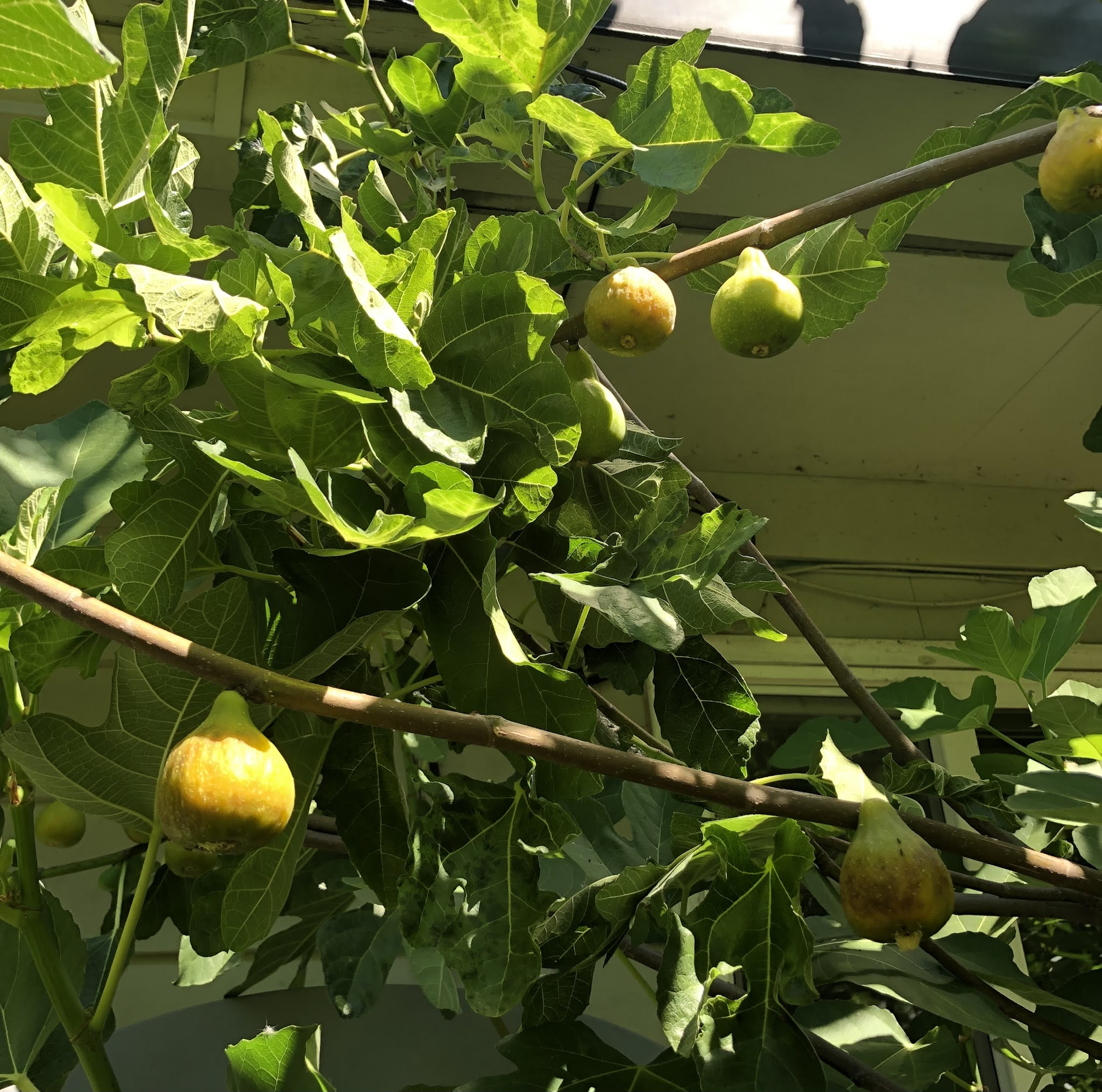 Lattarula figs