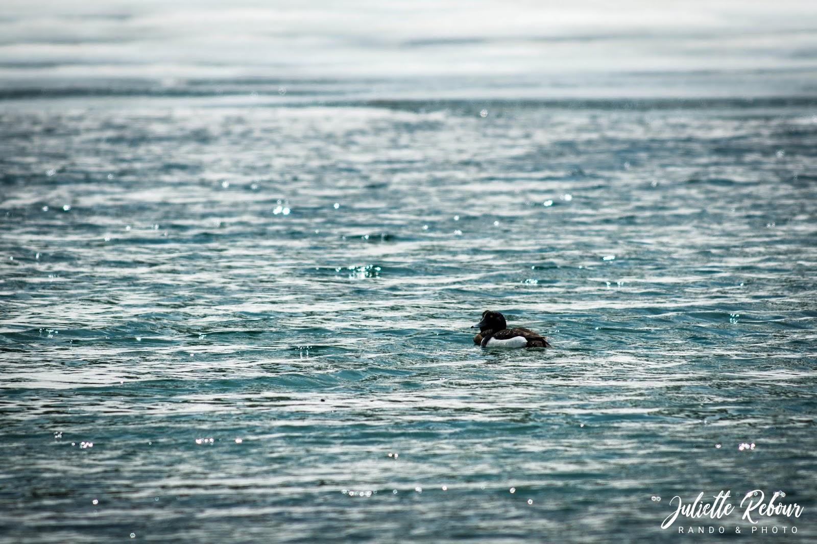 Fuligule morillon - canard nordique