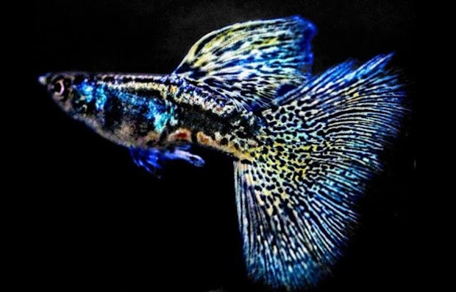 Guppy Ikan Hias air Tawar