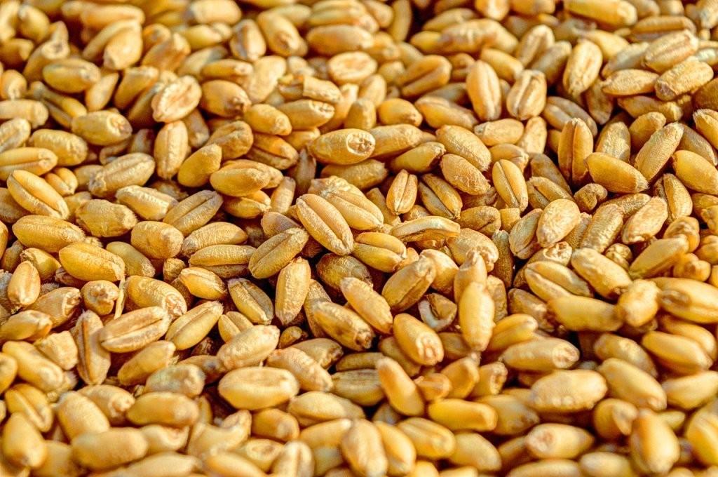 TRIGO: Com progresso da colheita no PR, liquidez aumenta; preço segue enfraquecido