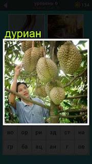 на дереве растут плоды дуриан, которые собирают 667 слов 6 уровень