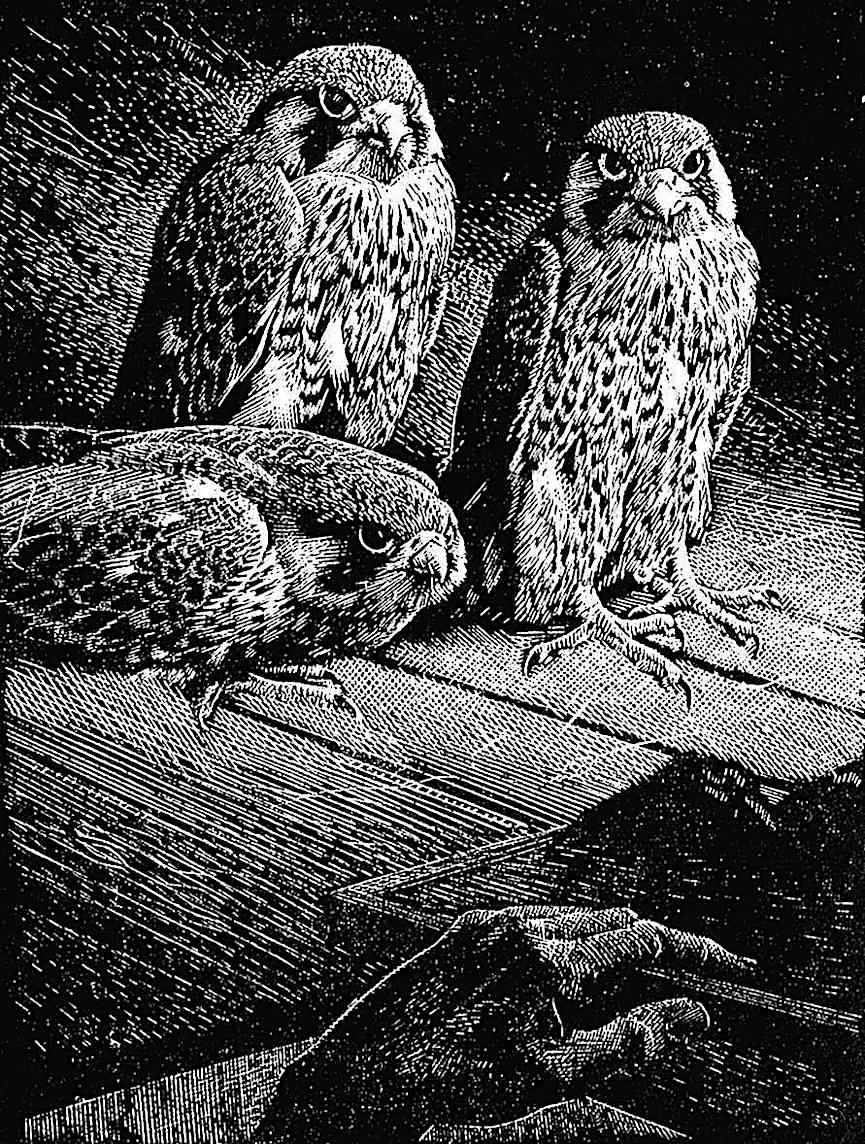 a Charles F. Tunnicliffe image of barn birds