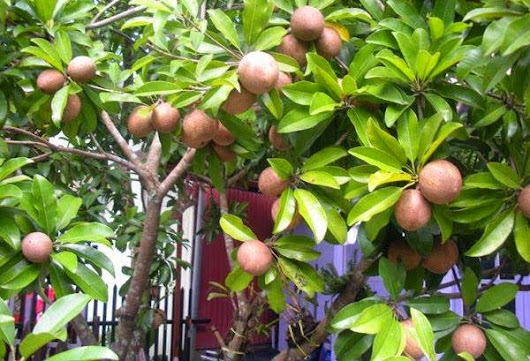 Sapodilla Fruit: The Sweet Brown Rich benefits