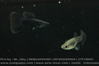Guppy Black Moskow