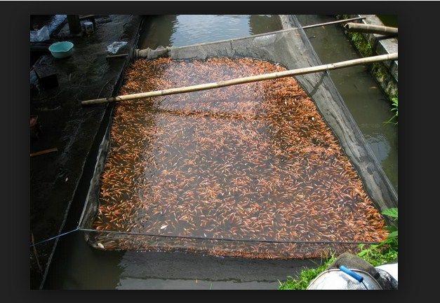 cara Membuat Kolam Ikan Nila