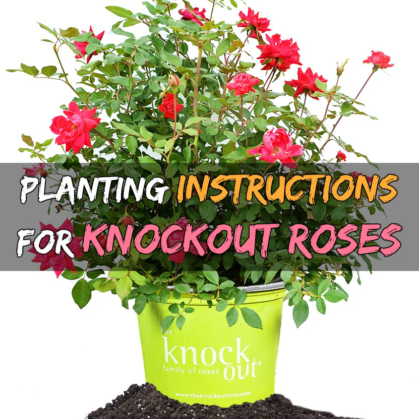 Roses In Garden: How To Plant Knockout Roses