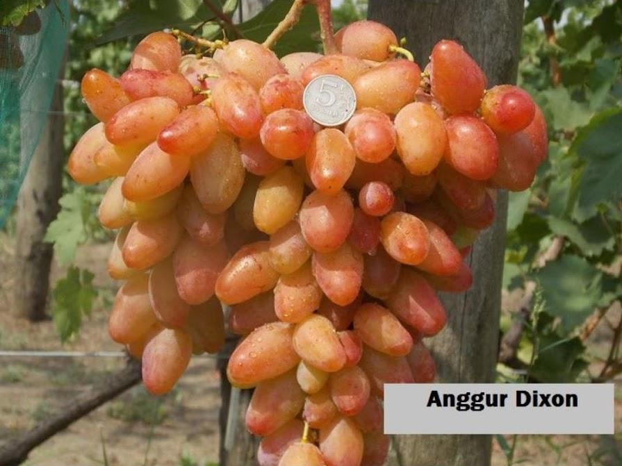 Bibit tanaman buah anggur import Dixon Tual