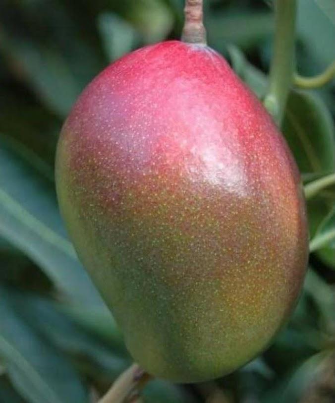 Bibit Tanaman Mangga Kasturi Hasil Okulasi Cepat Berbuah Maluku
