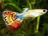 Cara Memelihara Ikan Guppy Si Ikan Hias Yang Popular