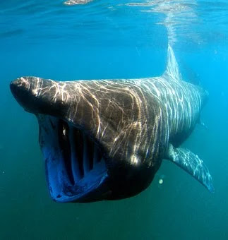 biggest shark in the world, biggest great white shark in the world, biggest shark in the world megalodon, biggest shark in the world 2019, biggest shark ever found, biggest shark in the world pictures, biggest shark in the world ever caught, biggest shark in the world ever, biggest shark in the world today, biggest shark in the world real,