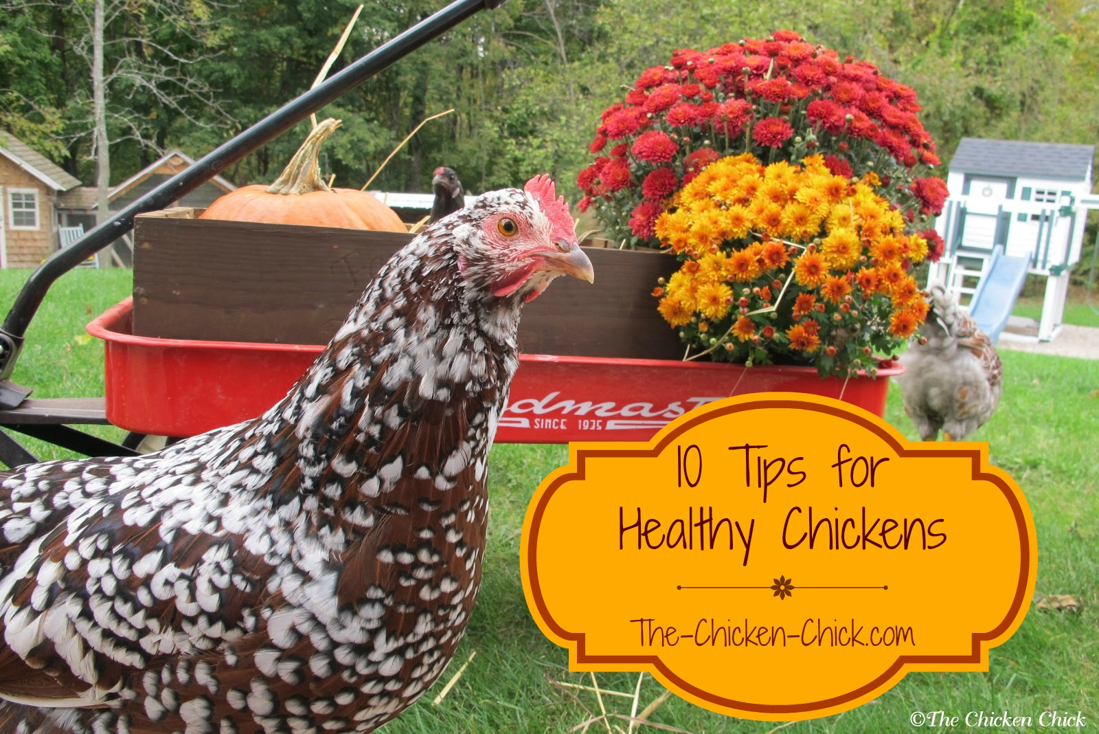 10 Tips For Healthy Chickens The Chicken Chick 174