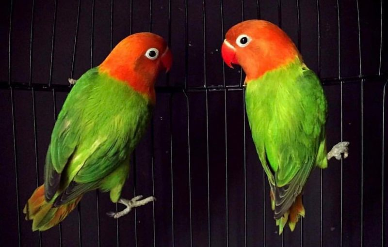 lovebird biola warna unik harga selangit   artikel burung
