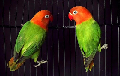 Image Result For Cara Merawat Love Bird Kusumo
