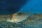 Jenis Ikan Corydoras nijsseni