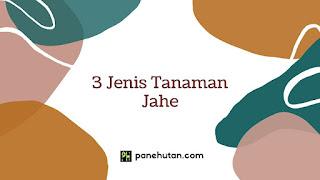 3 Jenis Tanaman Jahe